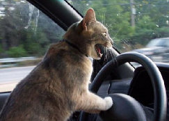 Cat driving photo