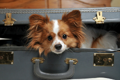 Dog in suitcase photo